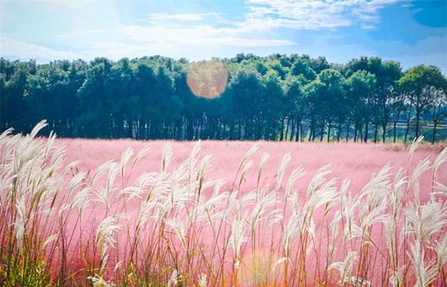 Vẻ đẹp kỳ thú của đồi cỏ hồng khác lạ ở Việt Nam