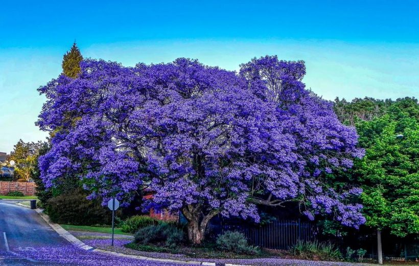 Pretoria thiên đường hoa Nam Phi