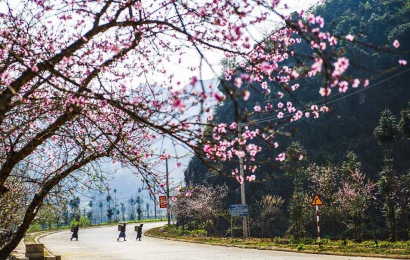 Mùa Hoa Đào Hà Giang Khoe Sắc