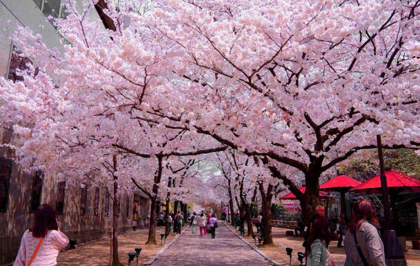 Trải nghiệm văn hóa Nhật Bản tại Lễ hội Hoa anh đào Hà Nội