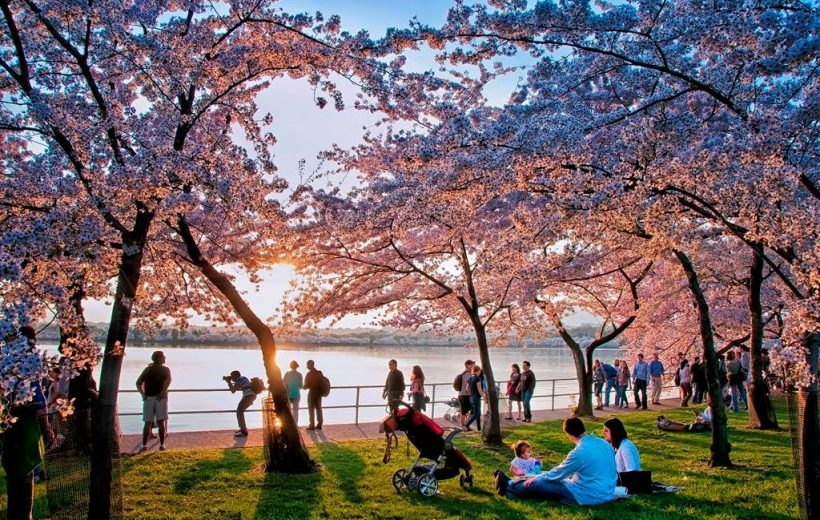 Không phải Nhật, đây mới là thủ đô hoa anh đào của thế giới