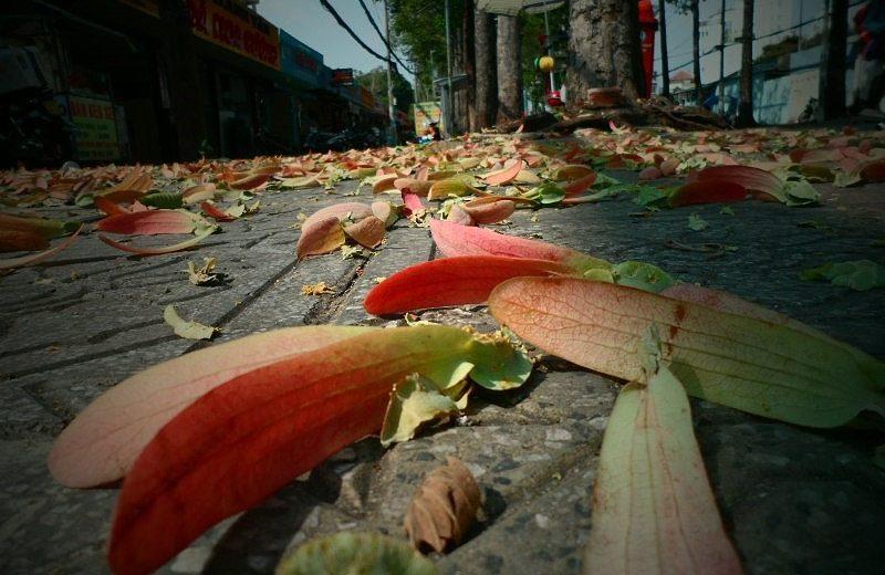 Sài Gòn mùa trái dầu bay